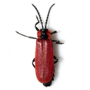 Lygistopterus sanguineus