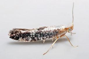 Argyresthiidae