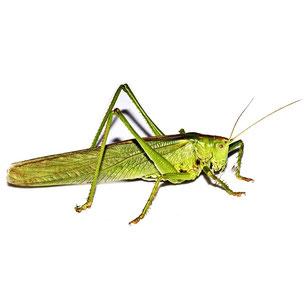 Tettigonioidae