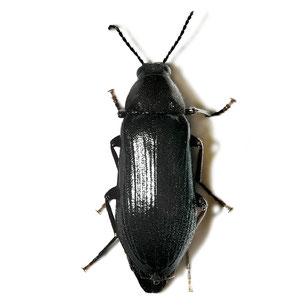 Melandryidae