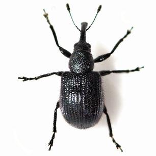 Rhynchitidae