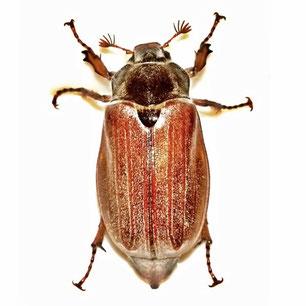 Melolonthidae