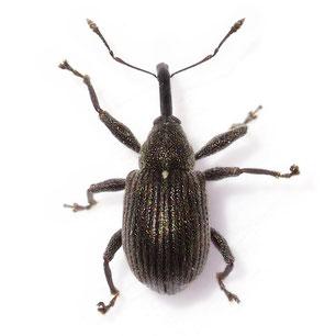 Anthonomus (Anthonomus) rubi