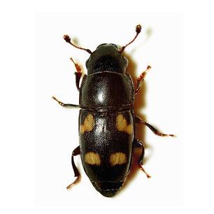 Nitidulidae