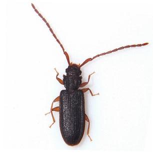 Silvanidae