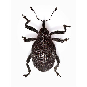 Ceutorhynchus scrobicollis
