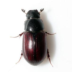 Planolinus fasciatus