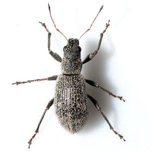 Polydrusus inustus