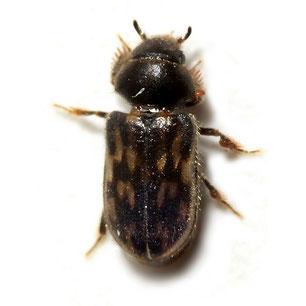 Heteroceridae