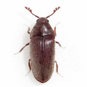 Throscidae