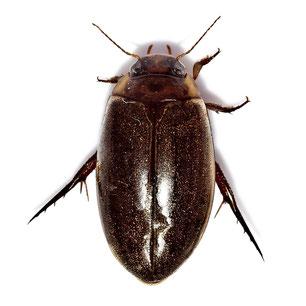 Dytiscidae