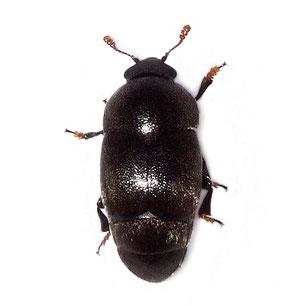 Kateretidae
