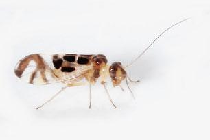 Stenopsocidae
