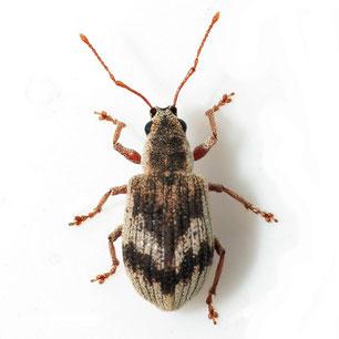 Pseudomyllocerus sinuatus