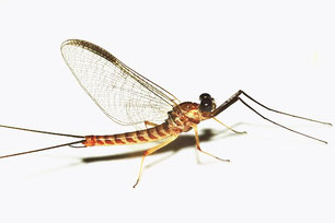 Heptageniidae