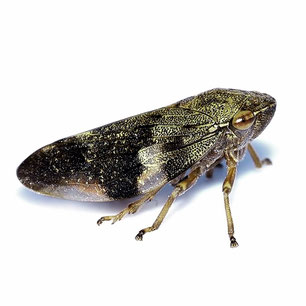 Aphrophoridae