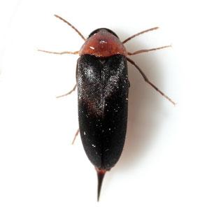 Mordellochroa abdominalis