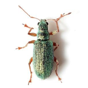 Polydrusus corruscus