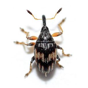 Nanophyidae