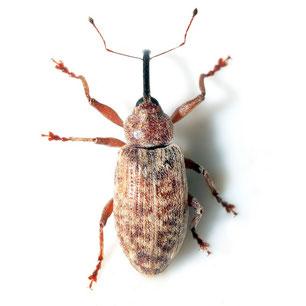 Dorytomus longimanus