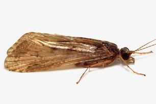 Hydropsychidae