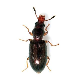 Salpingidae