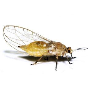Triozidae