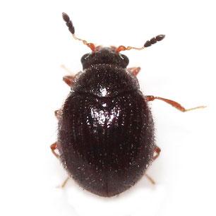 Sphindidae