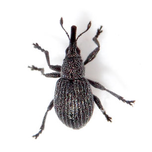 Pseudoperapion brevirostre