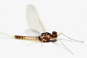 Baetidae