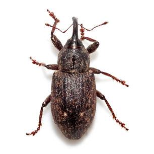 Erirhinidae