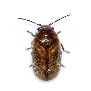 Scirtidae