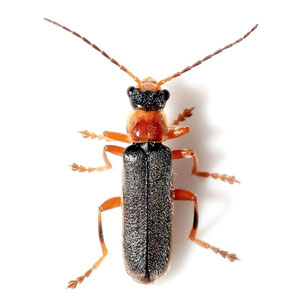 Cantharis lateralis