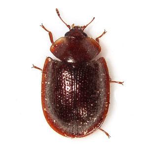 Trogossitidae