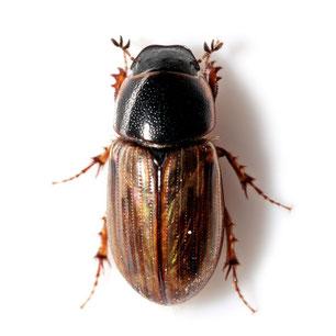 Aphodiidae