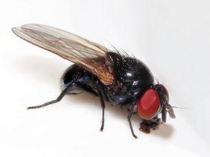 Lonchaeidae