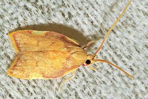 Peleopodidae