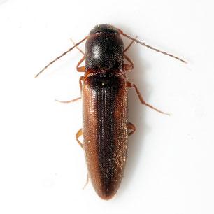 Dalopius marginatus