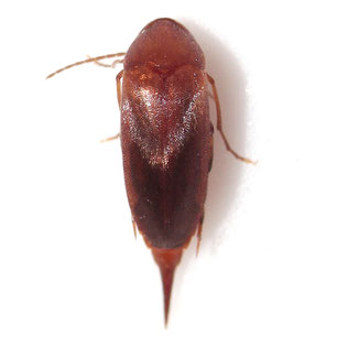 Mordellistena neuwaldeggiana