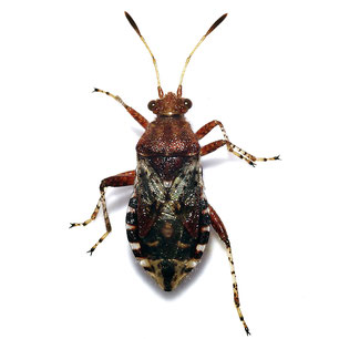 Rhopalidae