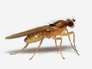 Lonchopteridae