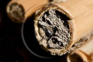 Mauerbiene Schlupf Niströhre Insektennisthilfe Insektenhotel