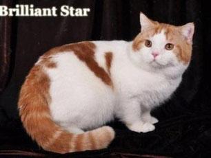 Британский кот красный арлекин BRI d 02 ICH Van Helsing Greek Stonе