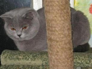Британская голубая кошка BRI a Brigit Bardo Masson Club.