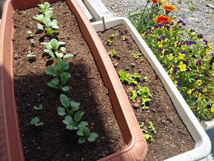 左がラディッシュ、右がミックスレタス。種まきから18日。