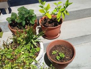 右下がミント。今年植え替えました。右上はレモン。左上がイチゴ。