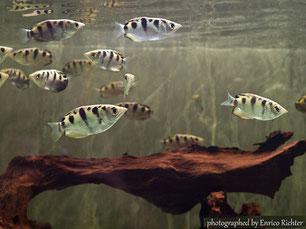 Kampffisch, Fadenfische, Labyrinthfische, kaufen Nürnberg, Aquaristikgeschäft