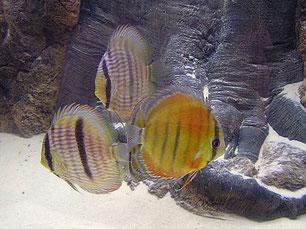 Diskusfische kaufen Nürnberg, Skalare kaufen Nürnberg