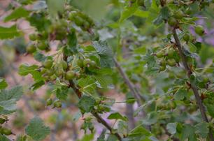 Jostabeere alte Sorten biologisch nachhaltig regional umweltverträglich nachhaltiger Anbau Bio Hausgarten Ab Hof Sortenraritäten Gemüse Gemüsekiste alte Sorten Sortenerhalter ökologisch