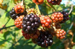 Brombeere schwarze Brombeeren Beeren biologisch BIO nachhaltig Sortenerhalter Sortenraritäten umweltfreundlich umweltverträglich Hausgarten Abhof Gemüse Gemüseraritäten Gemüsekiste Besichtigung Führungen Workshop